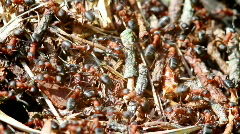 ants - stock footage