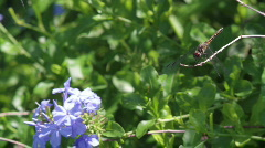 Black Dragonfly with Plumbago Stock Footage
