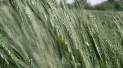 Grass blowing in the wind (HD) k Stock Footage