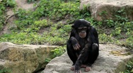Stock Video Footage of chimpanzee