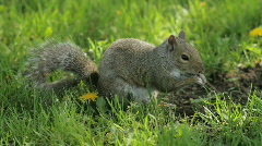 Squirrel in the grass Stock Footage