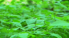 Groundcover leaves in forest - stock footage