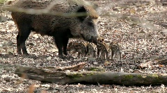 Young boars and their mother Stock Footage