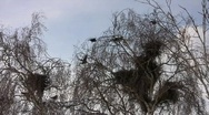 Disturbed hooded crow (Corvus cornix) nesting colony on the birches (Betula pend Stock Footage