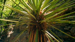 T183 yucca plants plant handheld Stock Footage