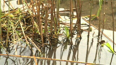 Bird (coot) making its nest on water Stock Footage