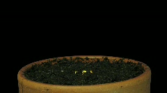 Time-lapse of growing cress plant 1a with alpha matte Stock Footage