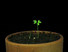Time-lapse of growing cress plant 1b (Cinema 2K) Stock Footage