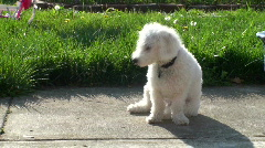 Dog (bischon frise) sitting on patio - stock footage