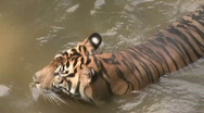 Stock Video Footage of Sumatran Tiger is in a Pond