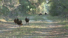 Wild Turkey Flock Stock Footage