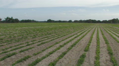 Peanut Field in Central Florida Clip 2 Stock Footage