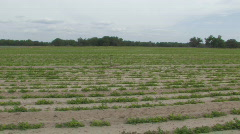 Peanut Field in Central Florida Clip 1 Stock Footage