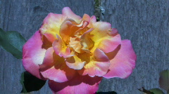 Rose Bloom by Fence Stock Footage