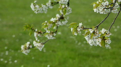 Cherry tree flowers Stock Footage