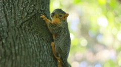 Baby Squirrel in tree - stock footage