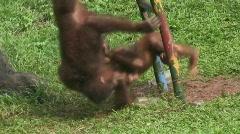Sumatran Orangutan Stock Footage