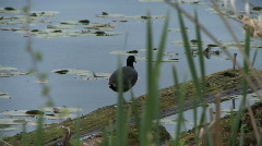Coot on log Stock Footage