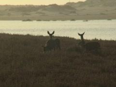 Group of deer at dusk Stock Footage