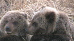 Stock Video Footage of TWO BEAR CUBS
