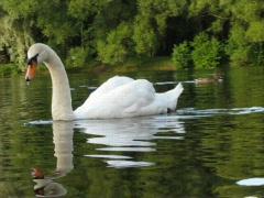 Swan Stock Footage