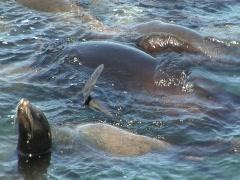 Raft of sea lions Stock Footage