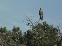 Read-tailed hawk on pine tree - stock footage
