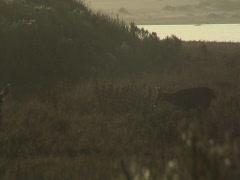 Deer walking through meadow at dusk Stock Footage