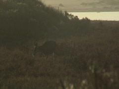 Deer walking towards camera Stock Footage