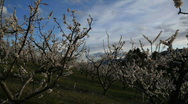 Spring Blossoms in Orchard Stock Footage