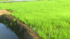 Rice field, Cochin, Kerala, India Stock Footage