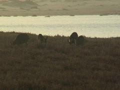 Deer at dusk grazing near an estuary Stock Footage