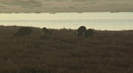 Deer at dusk grazing near an estuary Stock Footage