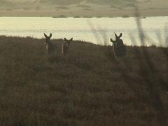 Deer at dusk Stock Footage