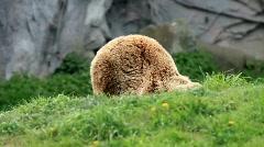 Kodiak brown bear Stock Footage