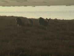 Deer grazing near an estuary Stock Footage