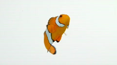 Clownfish swimming in circles Stock Footage