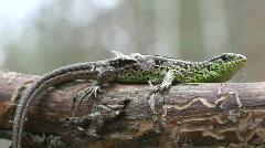 Lizard. Close up. Stock Footage