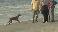 Vizsla playing fetch on beach Stock Footage