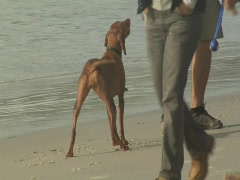 Vizsla wanting to play fetch at beach Stock Footage