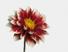 Stock Video Footage of Time-lapse of blooming red dahlia ALPHA matte 2a (Cinema 2K)