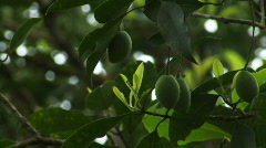 Olives hanging in tree, Kerala, India Stock Footage