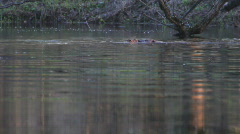 Love and beavers. Stock Footage