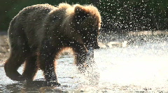 The bear catches a salmon. Stock Footage