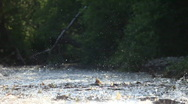 Stock Video Footage of Spawning of a salmon.