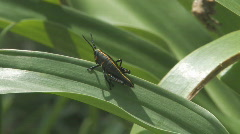 Black Cricket on Summer Lilly Plant Stock Footage