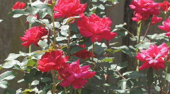 Knockout Roses in a garden Stock Footage