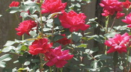 Stock Video Footage of Knockout Roses in a garden