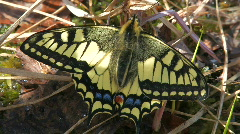 Old World Swallowtail,  close up. Stock Footage