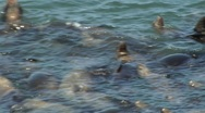 Sea lions swimming Stock Footage